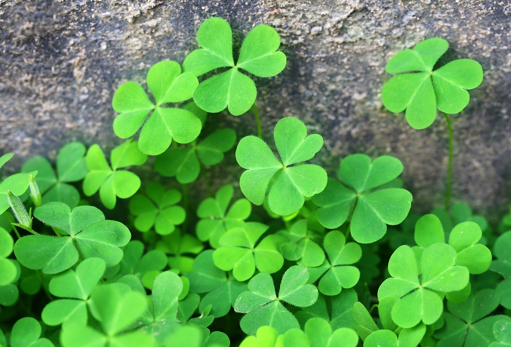 Clover background