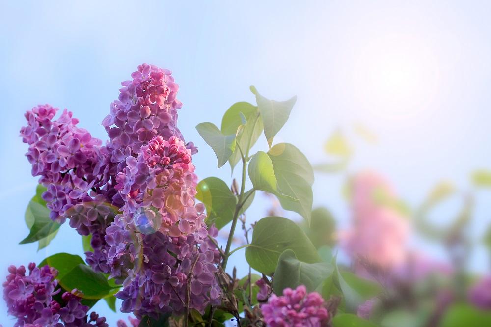 flowering tree lilac as symbol spring awakening nature